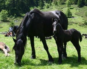 photo cheval merens